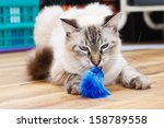 Stock photo young birman kitten playing with a fluffy toy 158789558