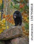 Black Bear (Ursus americanus) Stands Atop Rock Mouth Open Autumn - captive animal