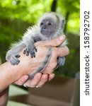 Small photo of Black howler monkey (Alouatta caraya) baby in hand