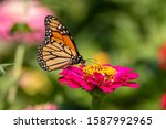 A Monarch Butterfly Feeds On A...