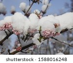 Cherry Blossoms On Tree In Snow