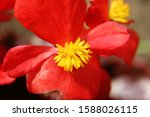 Bright Red Begonia Flower With...