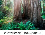 Sequoia And Redwood Tree Trunks ...