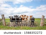 Group Of Young Cows Behind A...