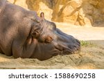 Close Up View Of A Hippo ...