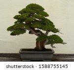 Very Old Indoor Bonsai Tree