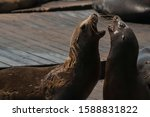 Sea Lions Fighting On A Pier I...