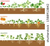 set of life cycles of gourd...   Shutterstock .eps vector #1588913842