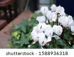 Cyclamen Flower Blooming In...