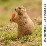 Black Tailed Prairie Dog With...