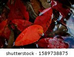 Rainwater covering the red autumn leaves  - stock photo