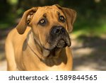 10 Months Young Boerboel Or...