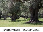 Old Olive Trees At Mallorca ...