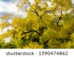 Elm Tree Showing Autumn Fall...