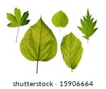 Small photo of Isolated leaves of trees - hedge maple, katsura tree, hazel, northern catalpa, american witchhazel