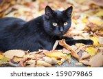 Stock photo black cat in autumn leaves close up photo animal portrait 159079865