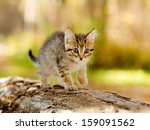Stock photo little kitten hunting in forest 159091562