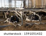 Small photo of Veer, Netherlands - September 12, 2019: private livestock farm with cows and bulls on a farm in Holland. Meat and dairy production in Europe.