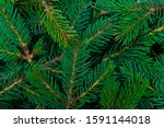 christmas tree branches closeup.... | Shutterstock . vector #1591144018