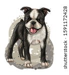 Dog Breed Boston Terrier....