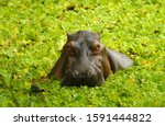 Hippos Live In The Rivers And...