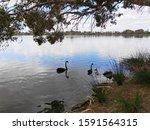 Swans On Lake Monger  Perth