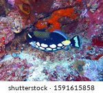 Clown Triggerfishes Are...
