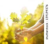 Oak Sapling In Hands. The...