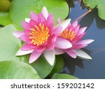 Twins Water Lily Flowers