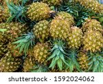 heap of yellow pineapple type... | Shutterstock . vector #1592024062