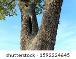 Rough Forked Tree Trunk And...