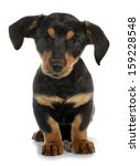Stock photo adopted pariah dog puppy 159228548