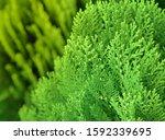 Japanese Cypress  Chamaecyparis ...