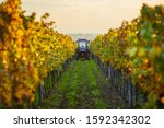 Autumn Rows Of Vineyards With...