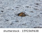 A charming Bering gopher looks straight from its hole. The ground around the gopher is covered in snow. Wild life. Natural background. Kamchatka resident.