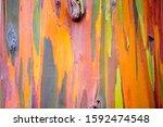 Rainbow Eucalyptus Gum Tree ...