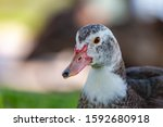 The Muscovy Duck Is A Large...