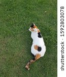 Three Color Cat Laying In A...