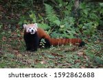 A Male Red Panda  Gawa  On The...