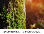 Green Moss On A Tree In The...