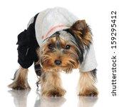 yorkshire terrier puppy in a... | Shutterstock . vector #159295412