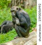 Chimpanzee Sitting On A Log And ...