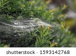 Web Spider Web Within Plant...