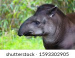 View Of A South American Tapir  ...