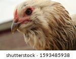 Small photo of Ameraucana Pullet Hens in Beautiful Colors