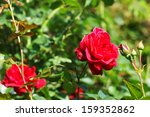 Red Rose On A Background Of...