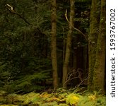 Autumn Woodland Scene  Golden...