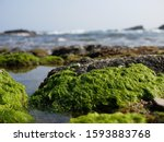 Picture Of Green Seaweeds On...