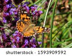 Painted Lady Butterfly  Vanessa ...