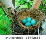 Robins Eggs In The Nest